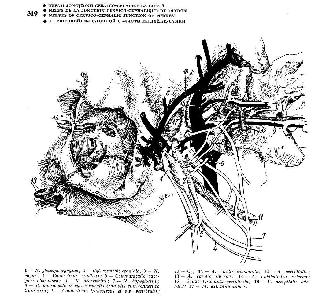 Ghetie\'s Atlas of Avian Anatomy: a virtually unknown treasure…now ...