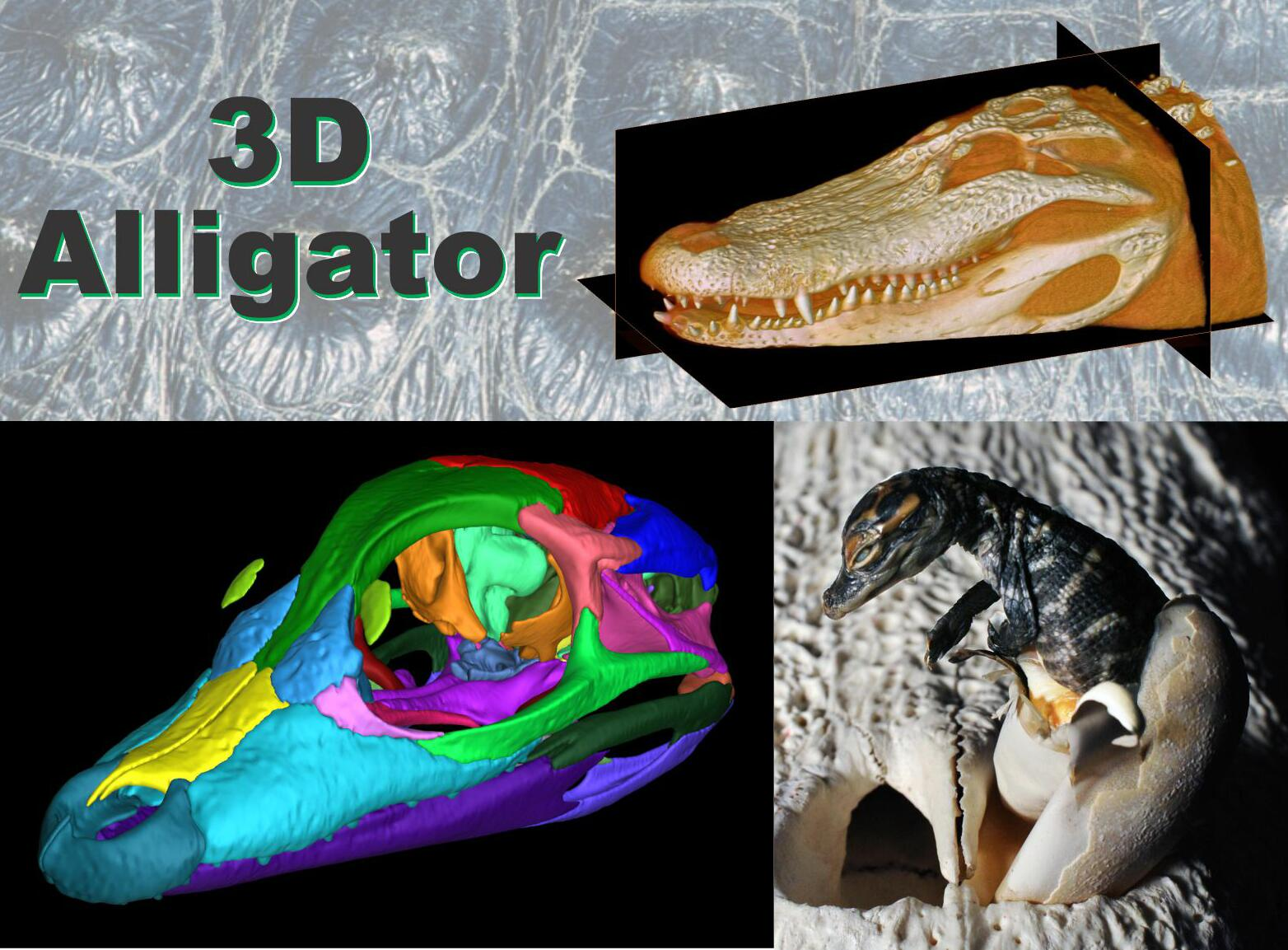 The 3D Alligator: A new anatomical resource for education & research ...