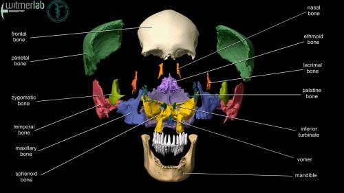 OU-HCOM_3D_Skull-exploded